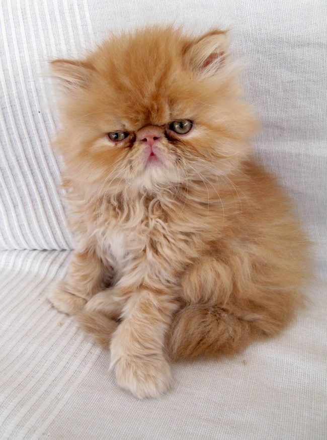 Персидская кошка – прекрасный компаньон для детей, собак и даже мелкой домашней живности типа попугая или чего-нибудь похожего. Но чужих держат на расстоянии и не спешат оказывать им свою благосклонность