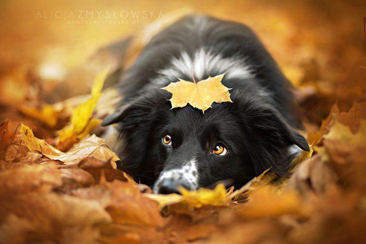 Красивейшая фотосессия собак собаки, бордер-колли, фотосессия