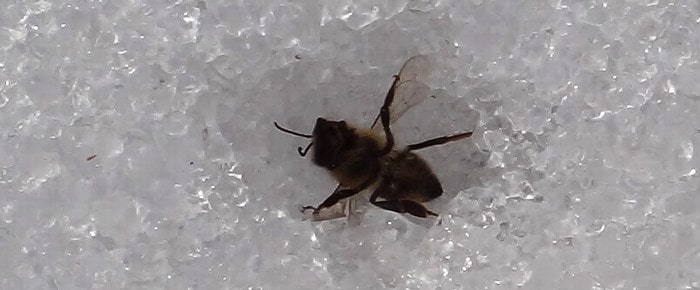 Пчелка на снегу зимой