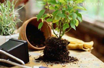 Растения превосходно себя чувствуют именно в глиняных необработанных горшках