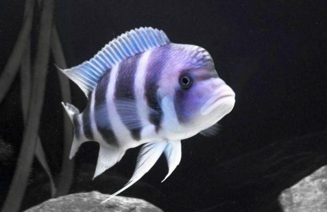 Фронтоза - крупная рыба, которой необходимо много места