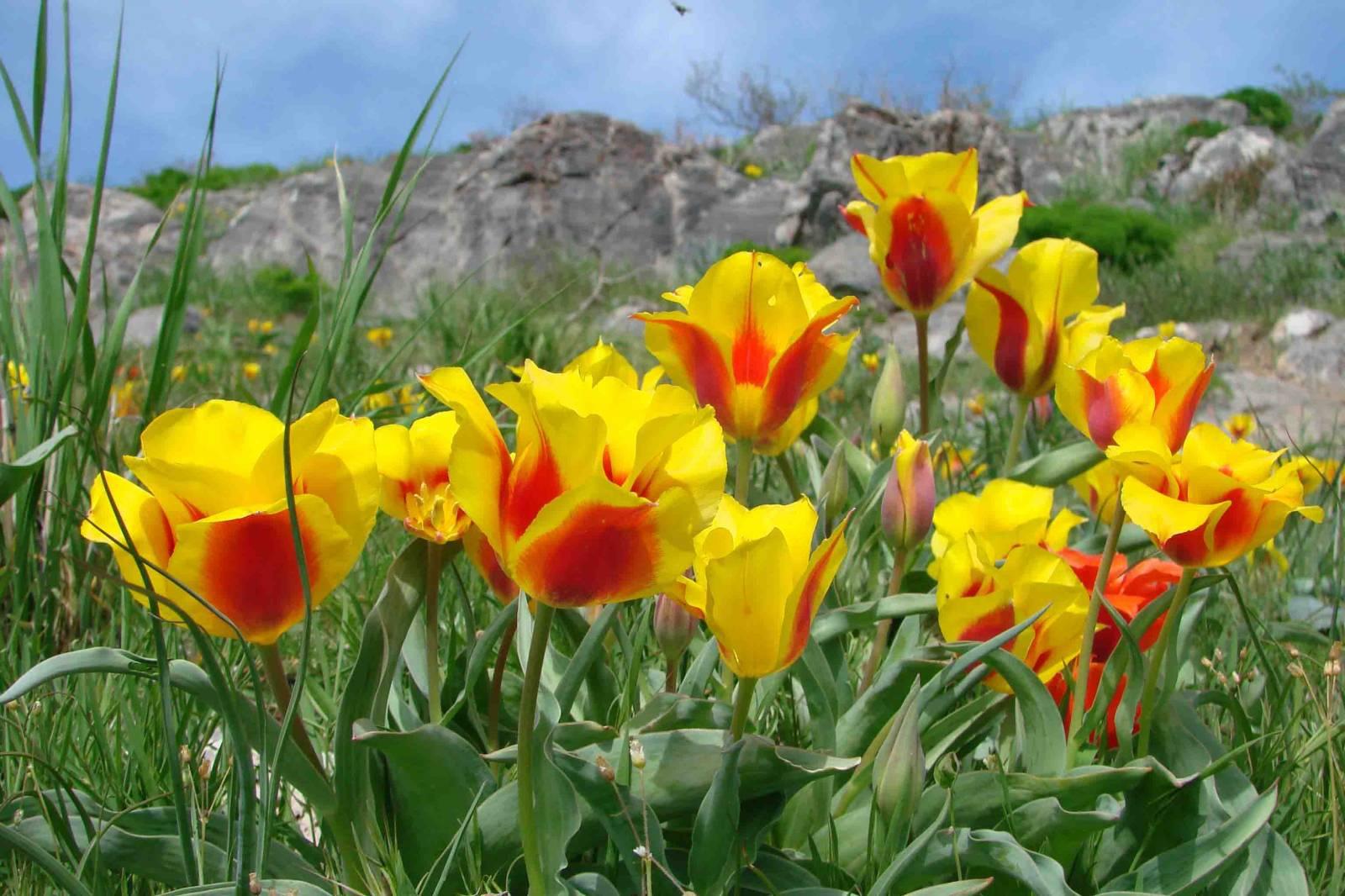 Цветы и клумбы: Сорта тюльпанов: фото и названия