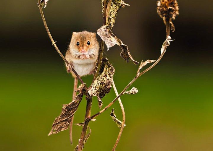 фотографии крошечных и забавных диких мышек (16)