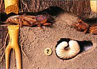 Медведка обыкновенная или сверчок-крот (Gryllotalpa gryllotalpa)