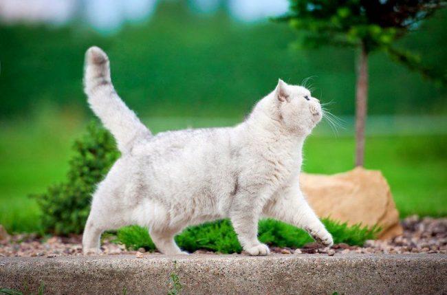 Белая кошка часто рождается с проблемами слуха