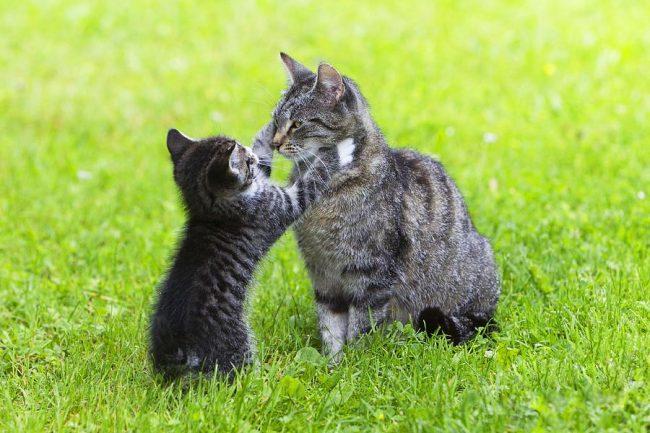 Котенок европейской породы радостно встречает свою маму