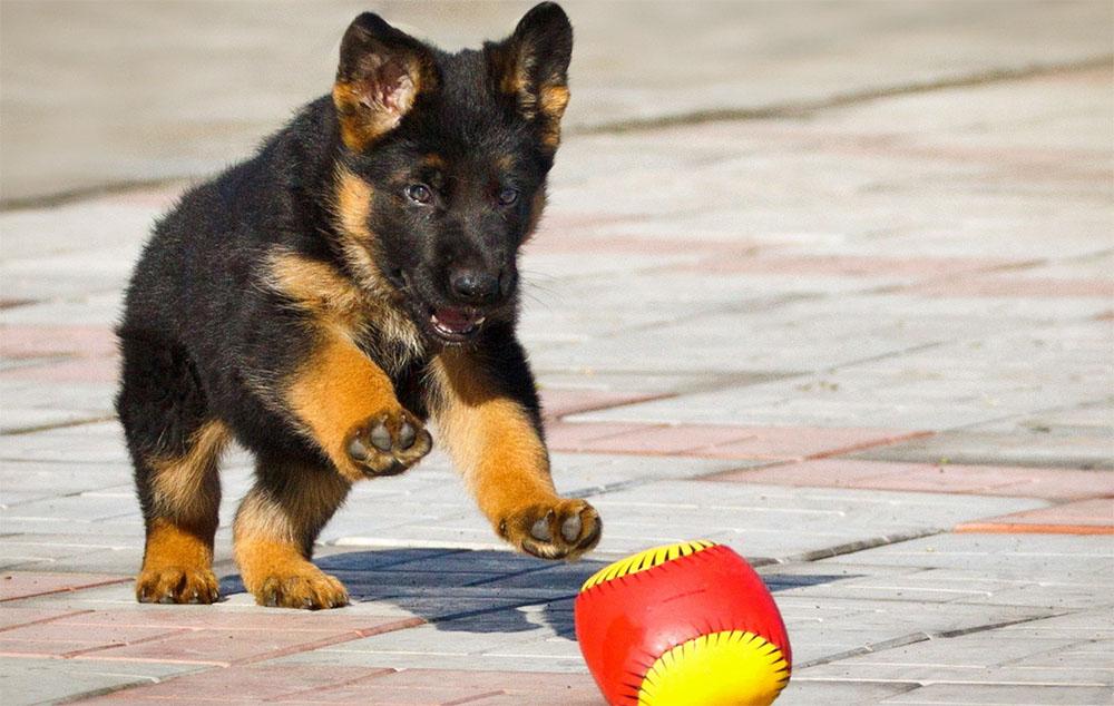 Картинки по запросу Дрессировка и воспитание щенка: период взросления
