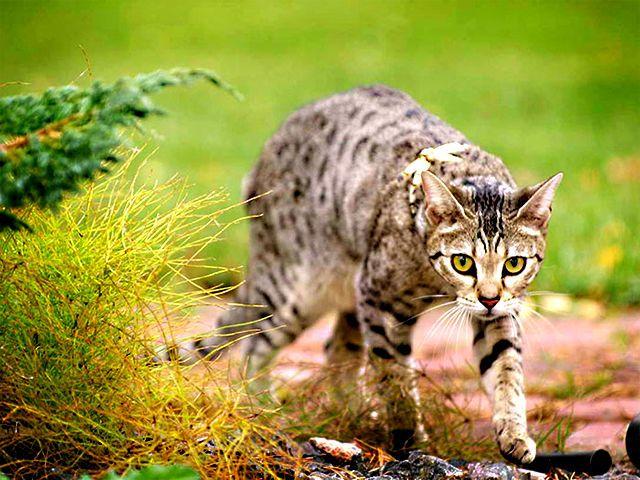 Саванна - шикарная порода кошки, которая не оставит равнодушным любого