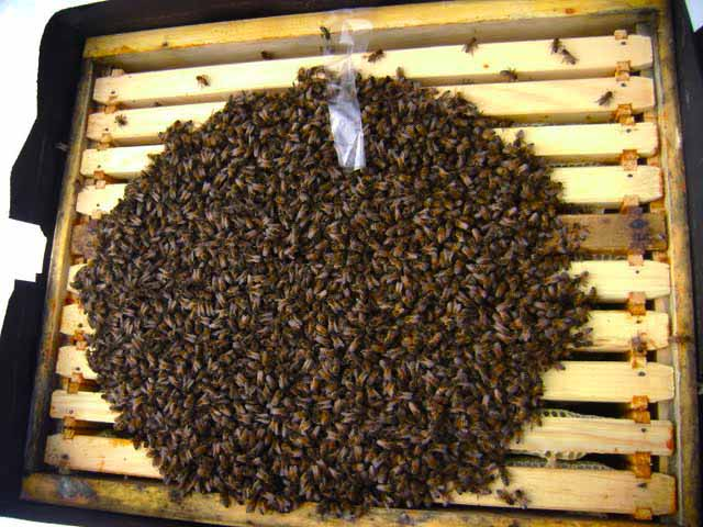 Пчелиный клуб во время зимовки