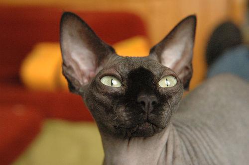 Сфинксы - порода лысых кошек