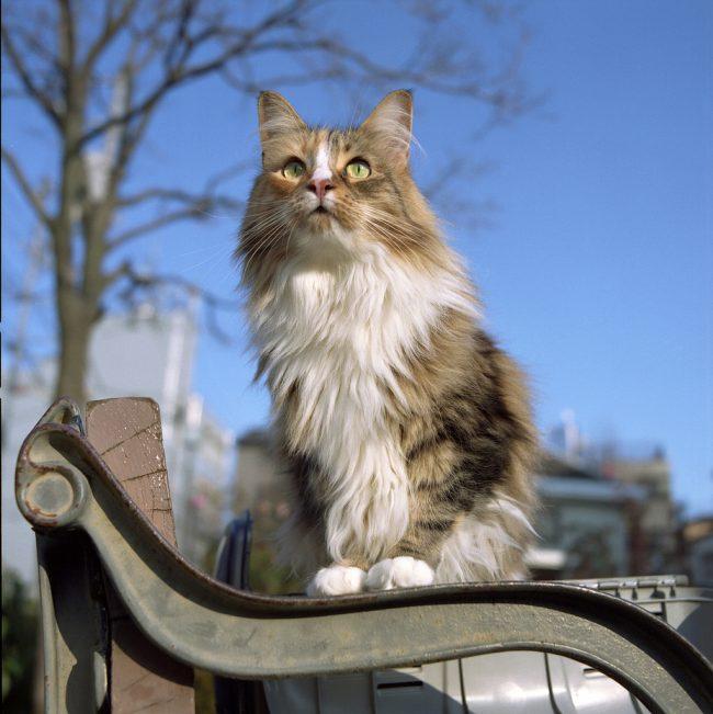 Любовь к свободе и потребность в общении с человеком – в этом вся норвежская лесная кошка