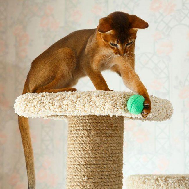 Абиссинская кошка любит быть в движении и с интересом проводить время