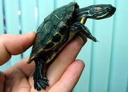 Так выглядят трёхкилевые китайские черепахи