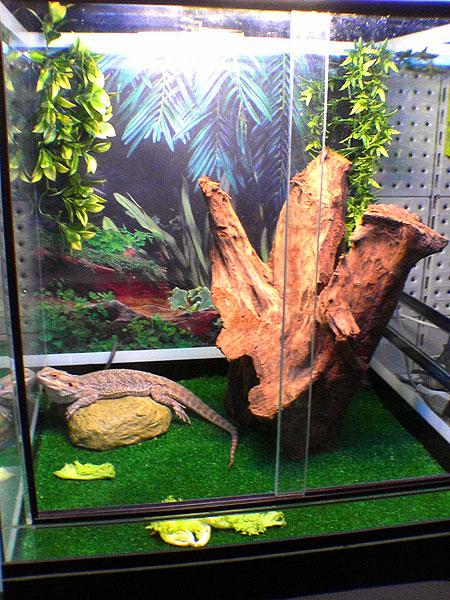 Ящерица в домашних условиях террариум