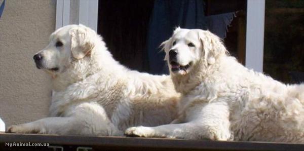 Итальянский кане корсо описание породы собак фото и видео