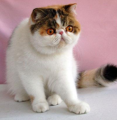 Породы кошек с фото  Котопес  Всё о кошках