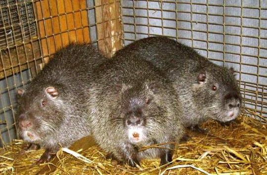 Wombat prodej