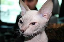 Сингапурская кошка абиссинская кошка
