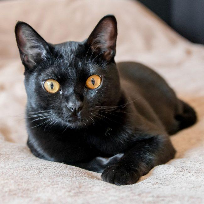 Настоящая бомбейская кошка должна быть полностью черной. Любые цветные пятна свидетельствуют о браке породы